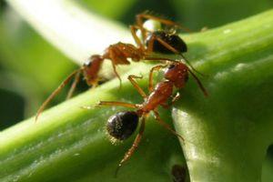 Έρευνα αποκαλύπτει ότι τα μυρμήγκια ξέρουν... μαθηματικά