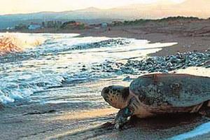 Νεκρές 20 χελώνες Καρέτα-καρέτα στον Αμβρακικό