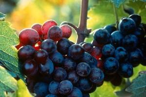 Νέες διατάξεις για το βιολογικό οίνο