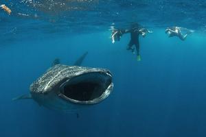 Τους φαλαινοκαρχαρίες τους έχετε ακουστά;