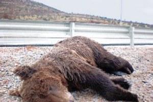 Ακόμη μία αρκούδα θύμα τροχαίου
