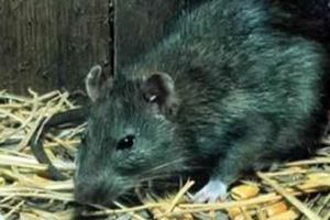 Τα ποντίκια γίνονται... άτρωτα!