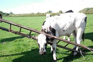 Αγελάδα κόλλησε το κεφάλι της σε σκάλα!