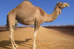 «Πουλάω την αγαπημένη μου καμήλα για να εξαγοράσω τη στρατιωτική μου θητεία»