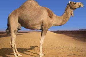 Καμήλες και κότες ως αμοιβή για τον Ομπάμα και την Κλίντον
