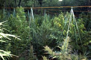 Καλλιεργούσε χασίς μέσα σε θερμοκήπια