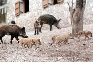 Αγριoγούρουνα έκοβαν βόλτες στη μέση του δρόμου στα Τρίκαλα