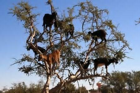 Το δέντρο με τα... κατσίκια!