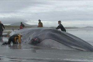 Εγκατέλειψαν την προσπάθεια να σώσουν τη φάλαινα