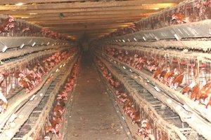 Προς απαγόρευση τα αυγά κλωβοστοιχίας