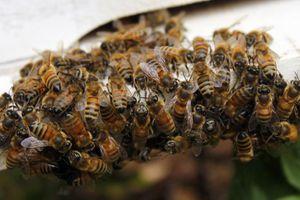 Το «έσκασαν» 20 εκατ. μέλισσες στη Καλιφόρνια