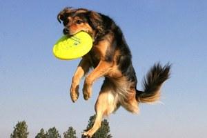 Πρωταθλήτρια στο frisbee σκυλίτσα με τρία πόδια