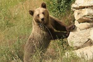 Νέο τροχαίο με θύμα νεαρή αρκούδα στην Εγνατία