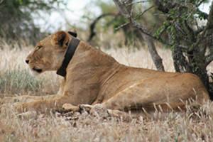 Λιοντάρια στέλνουν SMS
