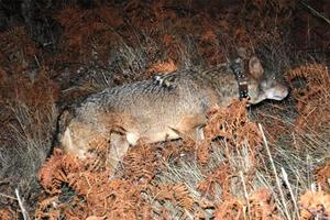 Πυροβόλησαν στο κεφάλι και το λαιμό μικρό λύκο