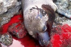 Μεσογειακή φώκια νεκρή από δυναμίτη στην Πάρο