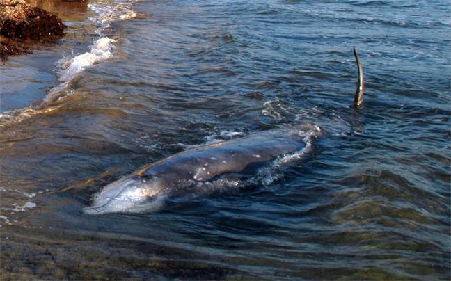 falainadelfini1 Ξεβράζονται φάλαινες στην Κέρκυρα