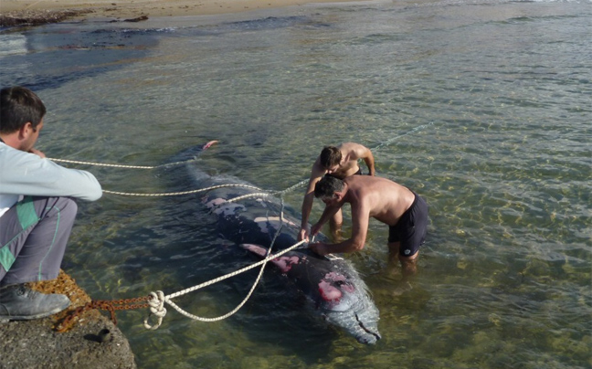 falainadelfini2 Ξεβράζονται φάλαινες στην Κέρκυρα
