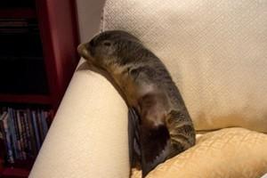Κατ' οίκον επίσκεψη από μια… φώκια