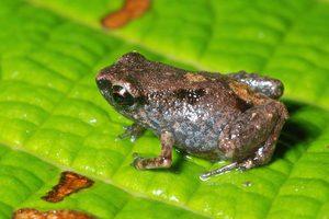 Ο μικρότερος βάτραχος του κόσμου