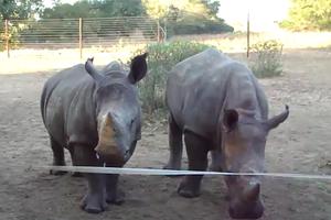 Κύκλωμα λαθρεμπορίας ρινόκερων εξαρθρώθηκε στις ΗΠΑ