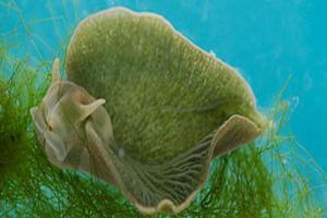 Ένα θαλάσσιο ζώο που φωτοσυνθέτει