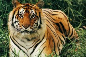 Πανικός από μια τίγρη που κυκλοφορούσε ελεύθερη στο Παρίσι