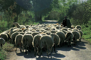 Πρόβατα ειδοποιούν το βοσκό τους αν τα κλέψουν!