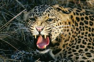 Λεοπάρδαλη το έσκασε από ζούγκλα