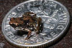 Το μικρότερο σπονδυλωτό ζώο είναι ένας βάτραχος!