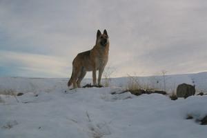 Σκύλοι και λύκοι είχαν ένα κοινό πρόγονο