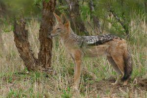 Θύμα του κυνηγιού και της συρρίκνωσης των βιοτόπων το τσακάλι