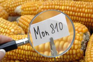 Ακυρώθηκε η απαγόρευση καλλιέργειας μεταλλαγμένου καλαμποκιού στη Γαλλία