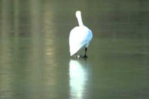 Το πτηνό-σύμβολο της χάρης και της ομορφιάς