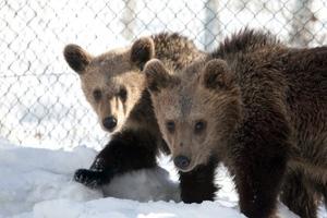 Έφτασαν στη φωλιά τους τα ορφανά αρκουδάκια