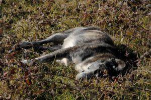 Σκότωσαν τσοπανόσκυλα και αλεπούδες με φόλες