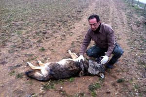 Νεκρός λύκος στην Καστοριά