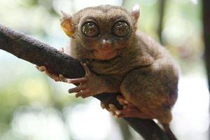 Το σύστημα επικοινωνίας των μαϊμούδων Tarsier