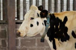 Οι κτηνοτρόφοι θα λαμβάνουν SMS από τις… αγελάδες!