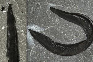 Ένα θαλάσσιο σκουλήκι πρόγονος του ανθρώπου
