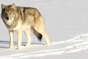 Χάνονται οι μοναχικοί γκρίζοι λύκοι
