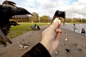 Ταΐζοντας τα πτηνά στο κεντρικό Λονδίνο