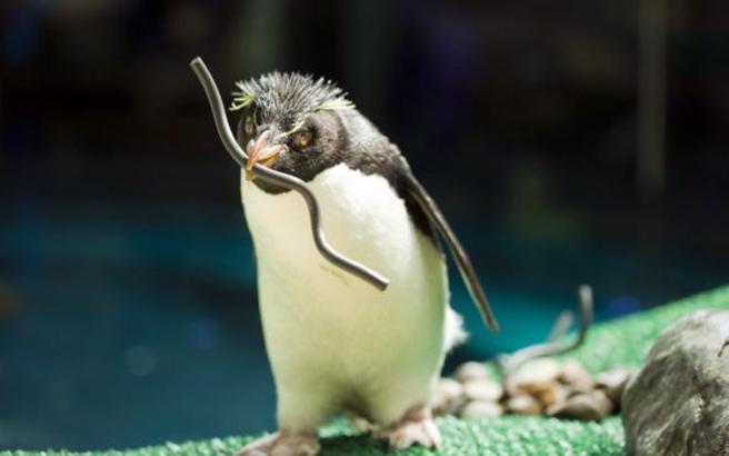 Οι πιγκουίνοι ετοιμάζονται για την περίοδο αναπαραγωγής
