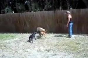 Έβαλαν τα σκυλιά τους να σκοτώσουν ένα γουρούνι
