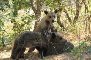 Τα Αρκουδάκια που υιοθέτησε ο Αρκτούρος επανεντάχθηκαν στη φύση