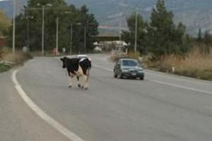 Σώθηκε από θαύμα Θεσσαλός που τράκαρε με αγελάδα