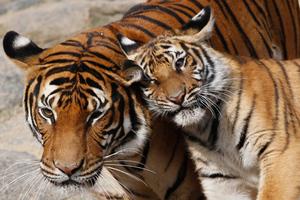 Ελέφαντες, ρινόκεροι και τίγρεις απειλούνται από το λαθρεμπόριο