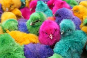 Βάφουν τα κοτοπουλάκια χρωματιστά!