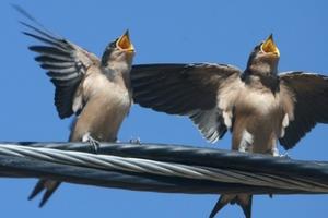 Η ηχορύπανση «δυναμώνει» το τραγούδι των πουλιών