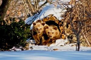 Ξύπνησαν από τη χειμερία νάρκη τα αρκουδάκια
